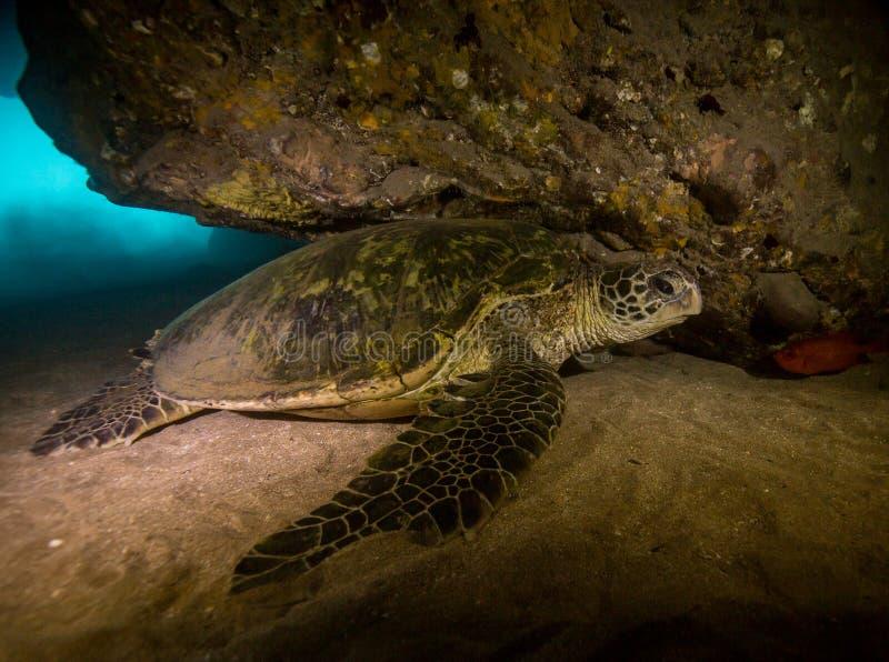 Гаваиская зеленая морская черепаха в Гавайских островах стоковые фотографии rf