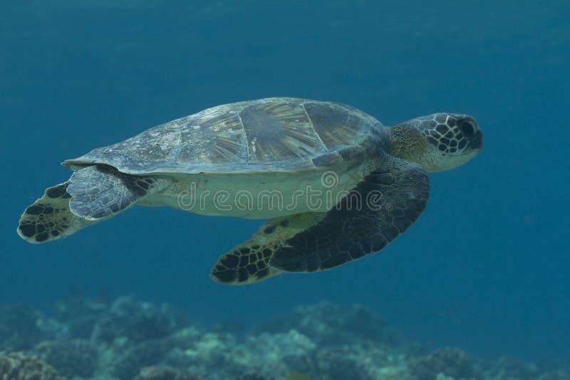 Гаваиская черепаха зеленого моря стоковые фотографии rf