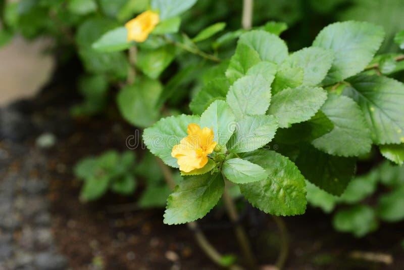 """Гавайские леи цветут """"Ilima """" стоковые изображения rf"""