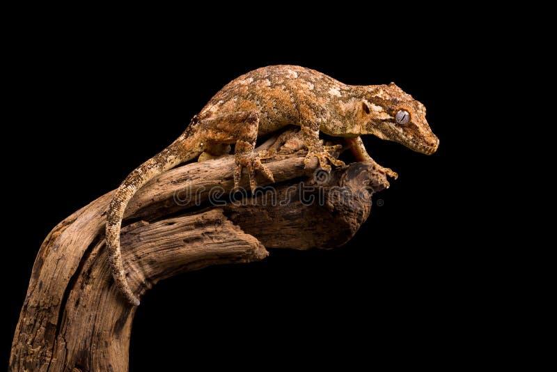 Гад гекконовых горгульи стоковое изображение