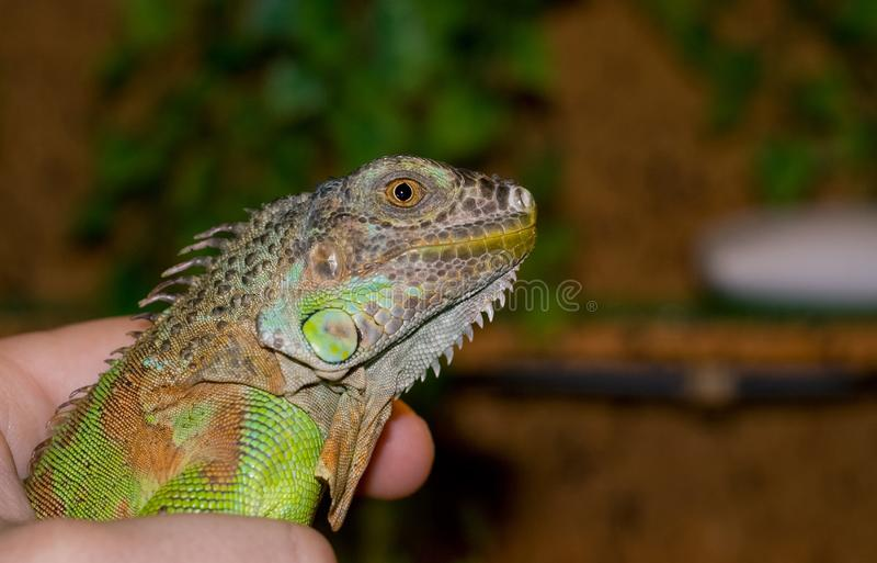 Гад игуаны зеленого цвета портрета экзотического любимца стоковое фото rf