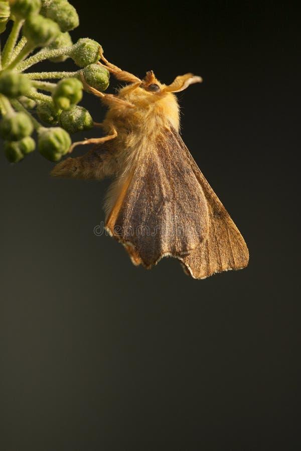 Гаечный ключ Gehakkelde, терний в сентябре, erosaria Ennomos стоковая фотография