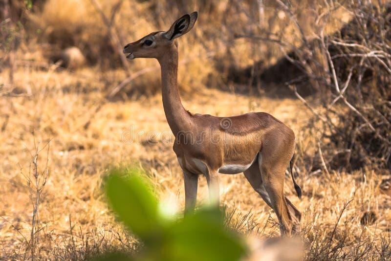 Газель около дерева Samburu стоковое изображение