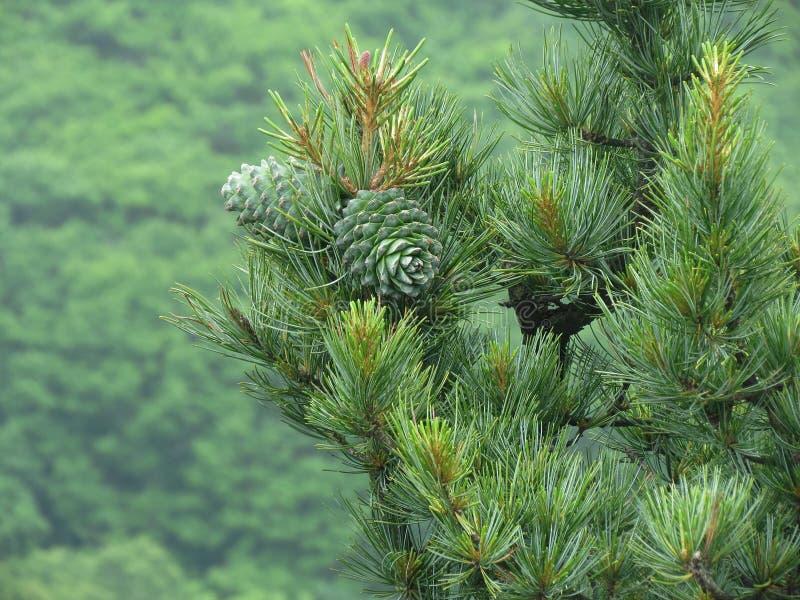 Гайка кедра, зеленый цвет конуса сосны Гайка сосны, шишка сосны, древесина кедра стоковые фотографии rf