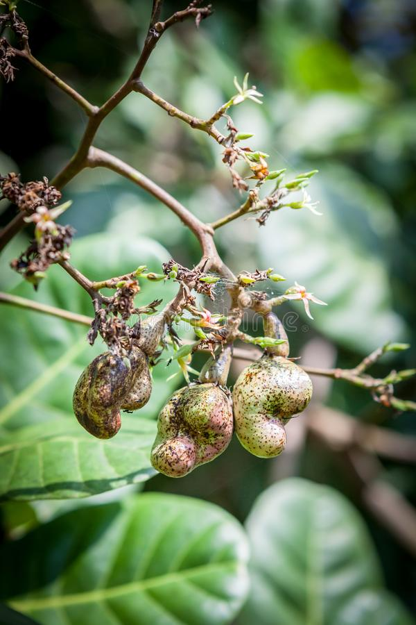 Гайки анакардии растя на дереве на Шри-Ланке стоковая фотография