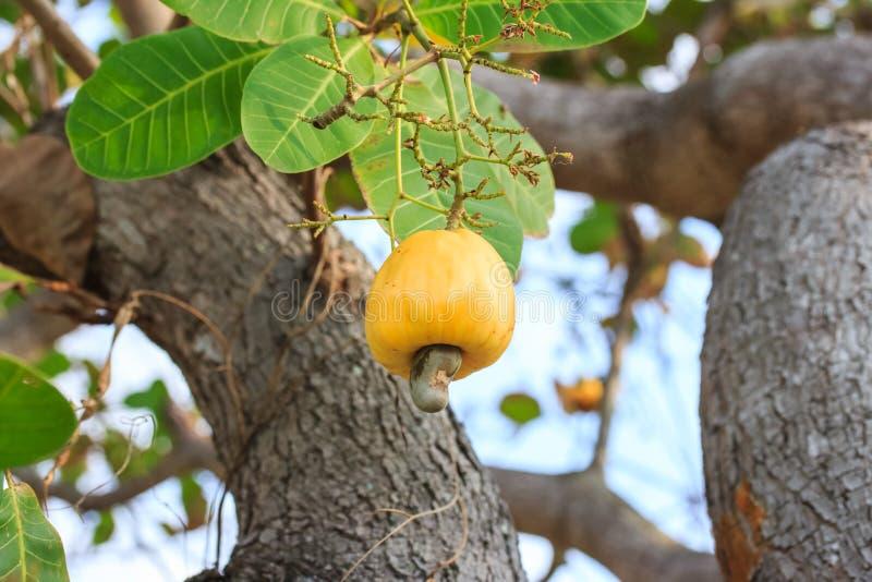 Гайки анакардии растя на дереве этой необыкновенной гайкой растут outsi стоковая фотография rf