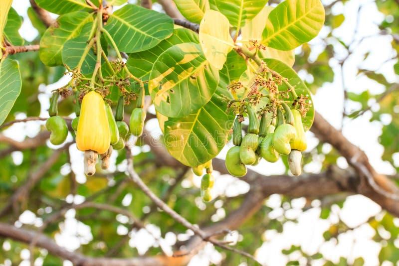 Гайки анакардии растя на дереве стоковое изображение