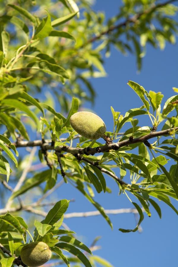 Гайки зеленой миндалины зрея на дереве, предпосылке природы с голубым небом стоковое изображение