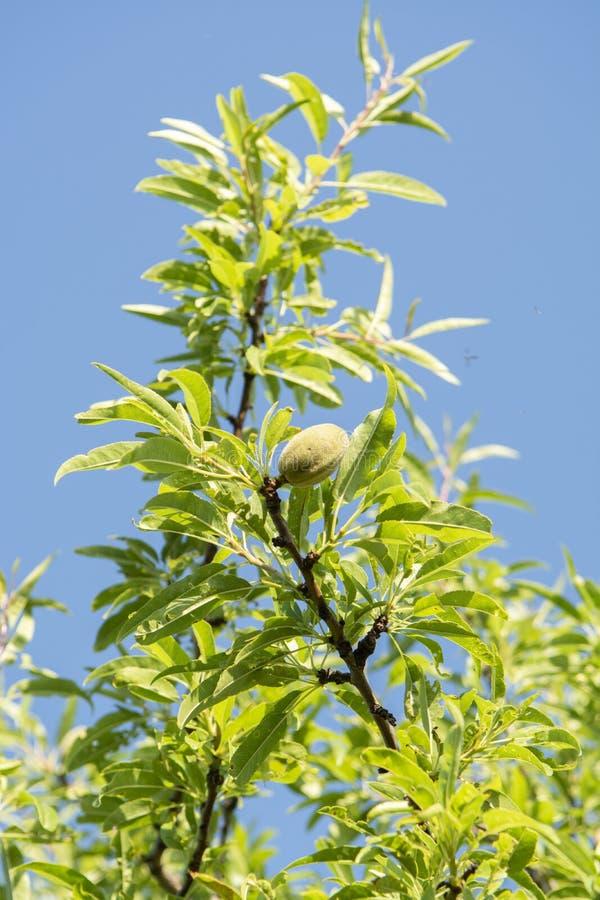 Гайки зеленой миндалины зрея на дереве, предпосылке природы с голубым небом стоковое фото rf