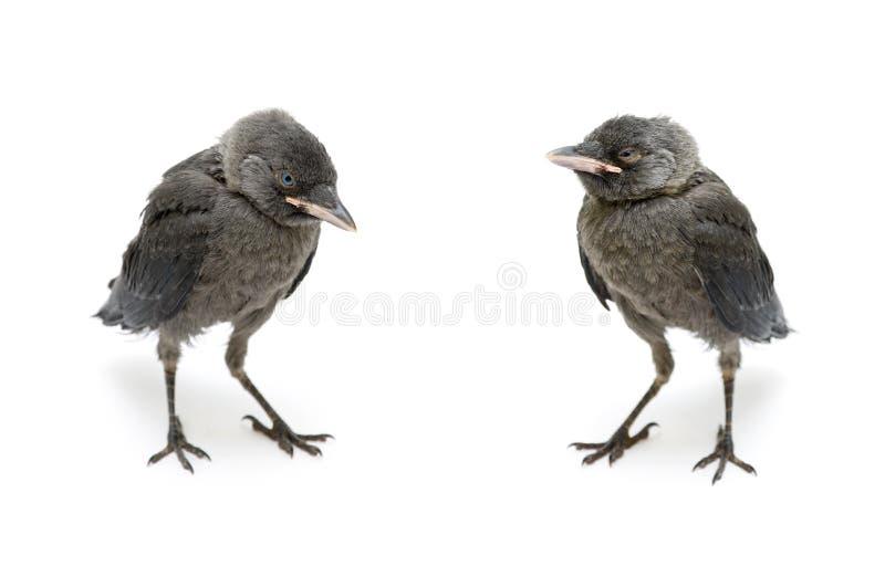 Галка птицы серая изолированная на белой предпосылке стоковое фото rf