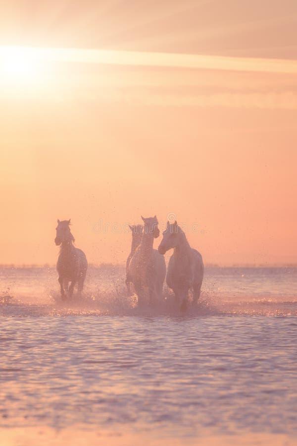 Галоп бега белых лошадей в воде на заходе солнца, Camargue, Bouches-du-Роне, Франции стоковая фотография