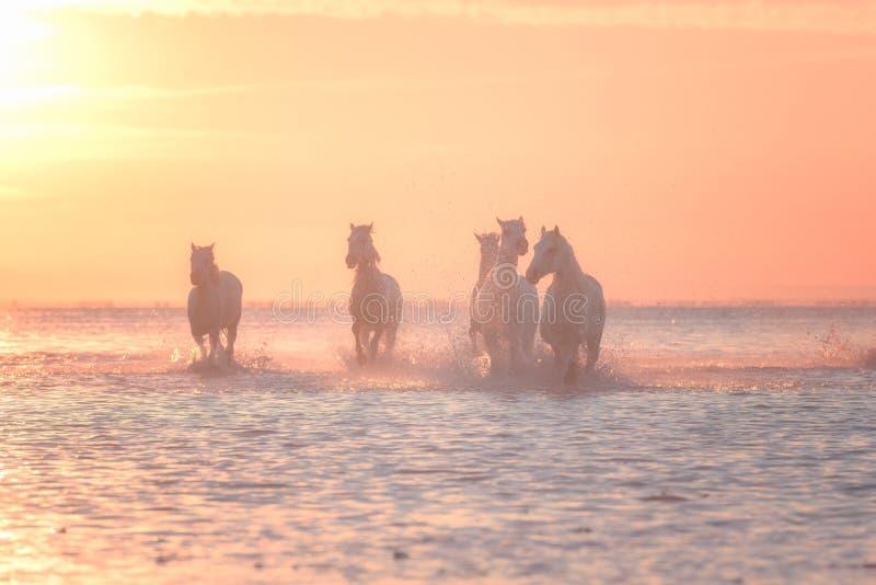 Галоп бега белых лошадей в воде на заходе солнца, Camargue, Bouches-du-Роне, Франции стоковое фото rf
