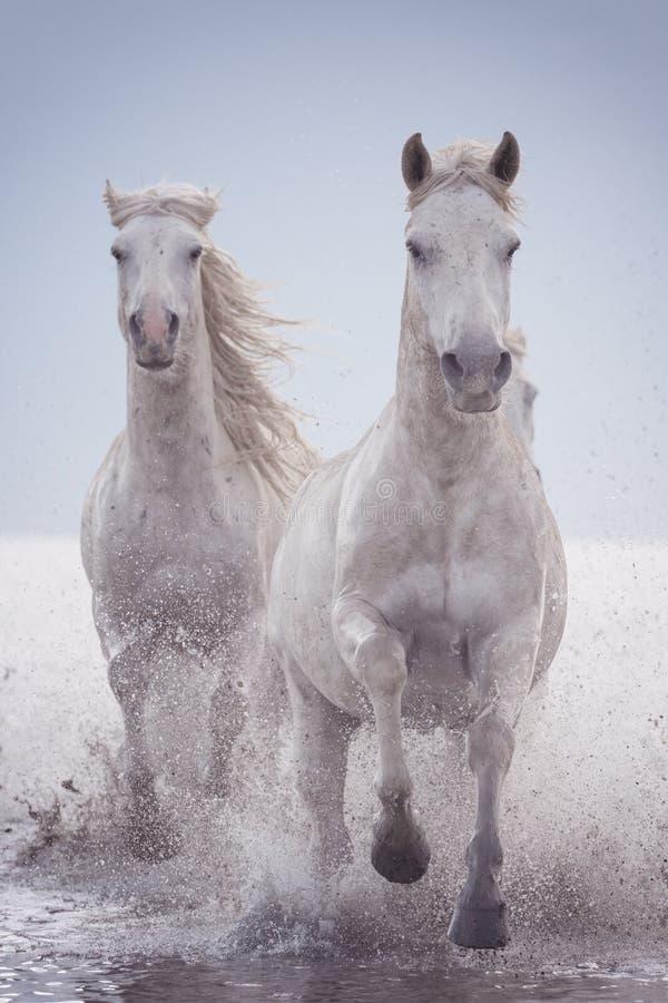 Галоп бега белых лошадей в воде на заходе солнца, Camargue, Bouches-du-Роне, Франции стоковые фотографии rf