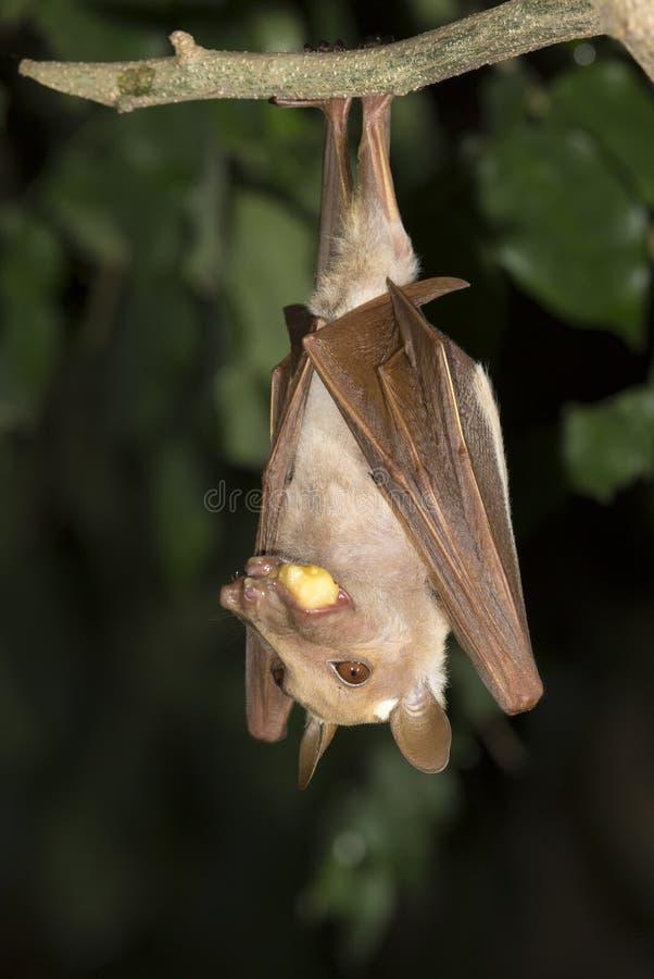 Гамбийская epauletted еда летучей мыши плодоовощ (gambianus Epomophorus) стоковая фотография rf
