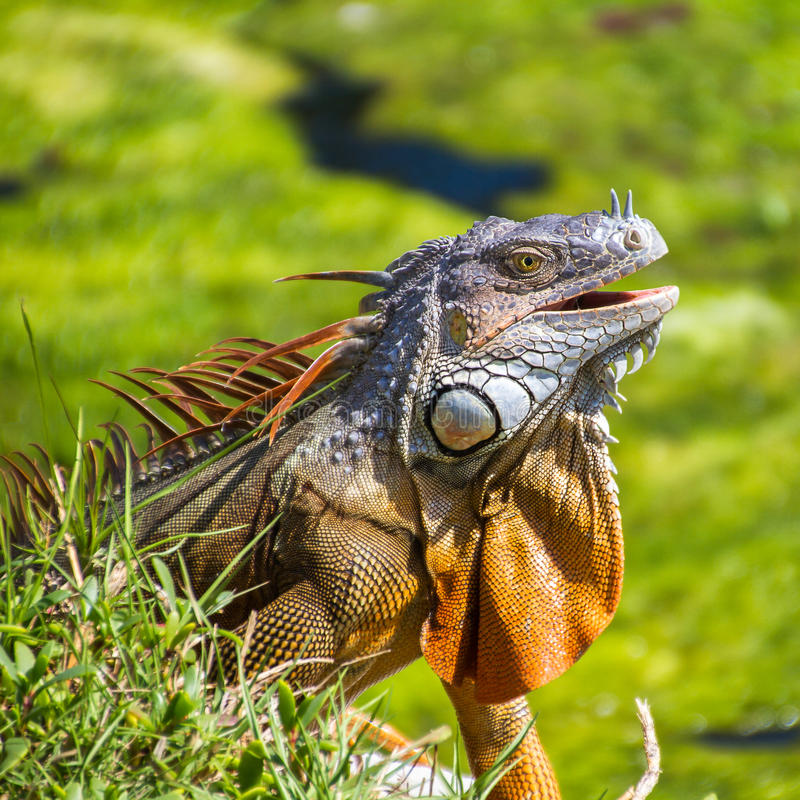 Гад игуаны стоковая фотография rf