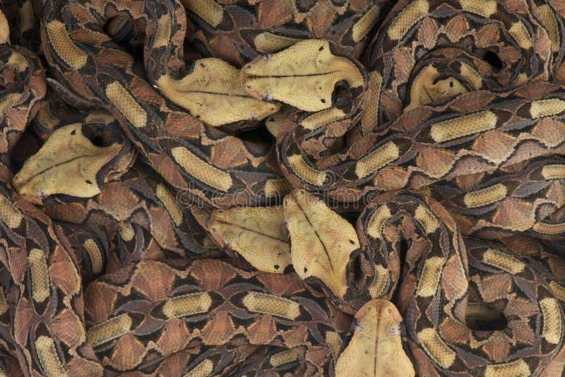 Гадюка Gaboon/gabonica Bitis стоковые изображения rf