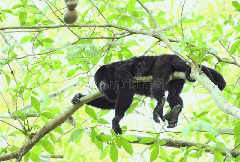 Гватемальская черная обезьяна ревуна - мужчина стоковая фотография