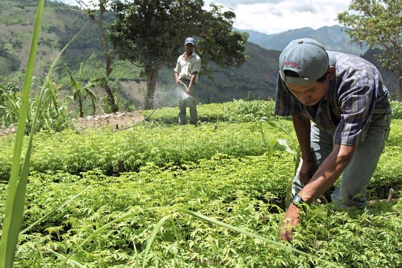 Гватемальские индийские люди работая в питомнике дерева стоковая фотография
