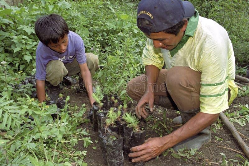 Гватемальский отец и сын засаживая новые деревца стоковое фото rf