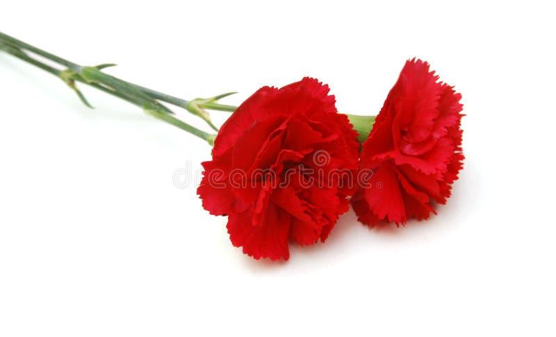 гвоздики цветут красный цвет стоковое фото