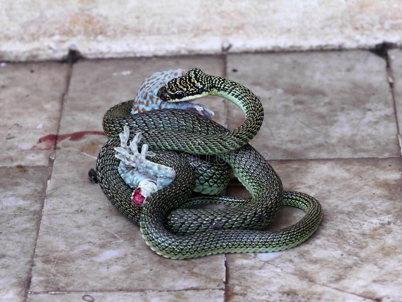 Гекконовые & змейка стоковые фотографии rf