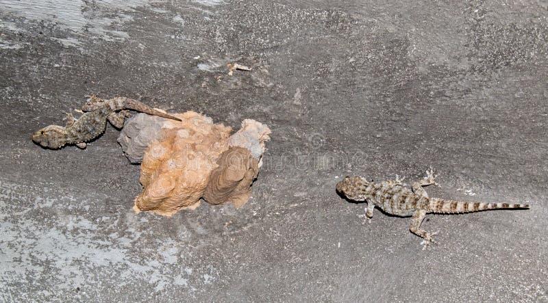 гекконовые идя на стену стоковая фотография rf