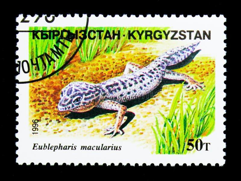 Гекконовые леопарда (macularius) Eublepharis, serie гадов, около 19 стоковое фото rf