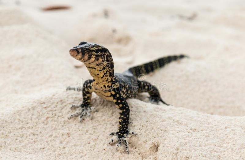Гекконовые охотятся для добычи на тайском пляже стоковая фотография rf