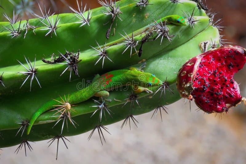 Гекконовые Phelsuma Laticauda на зеленом кактусе с красным плодом, Кауаи, Гаваи, США стоковая фотография rf