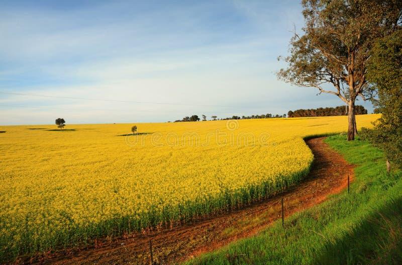 Гектары аграрных канола заводов в цветке стоковая фотография