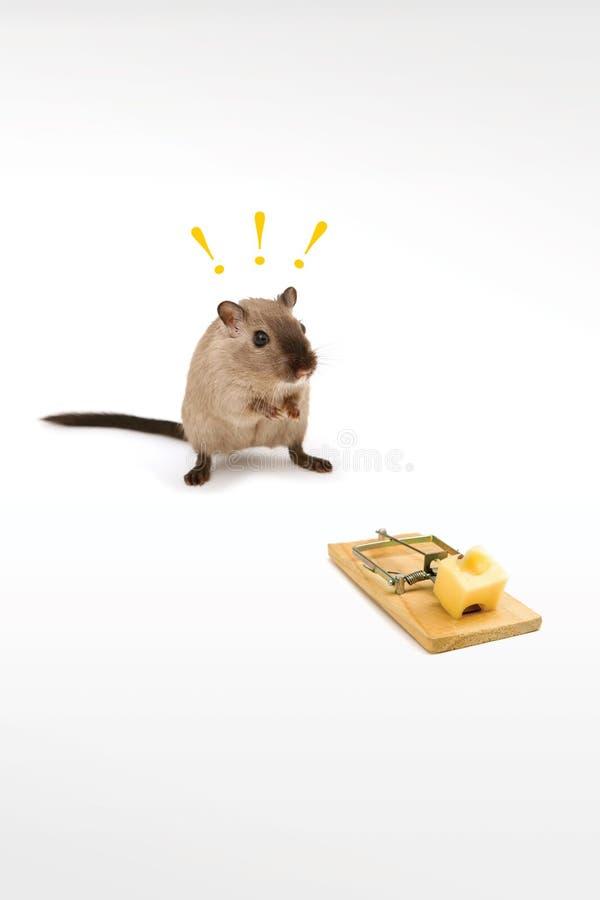 гениальная крыса стоковые фото