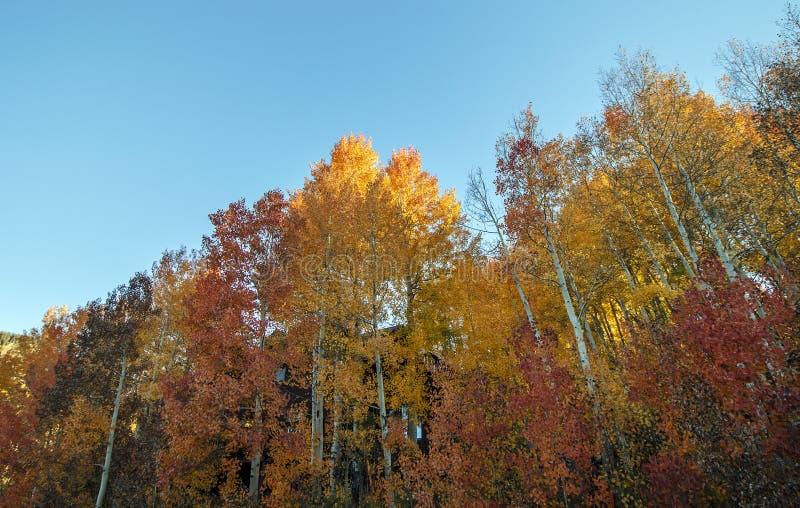 Гениальная покрашенная стойка дерева осины осенью стоковые изображения rf