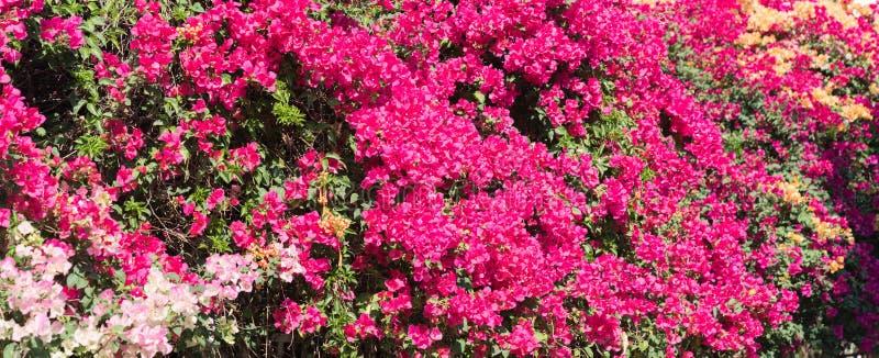 Гениальные сильно красочные цветки bouganvillea дисплея стоковое изображение rf