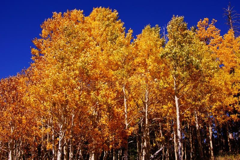 Гениальные золотые цвета осины падения стоковые изображения