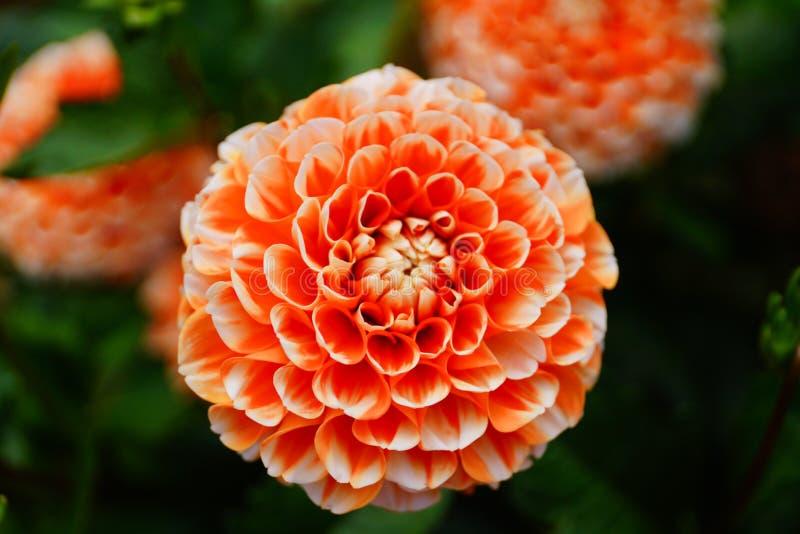 Георгин в цветении стоковые изображения