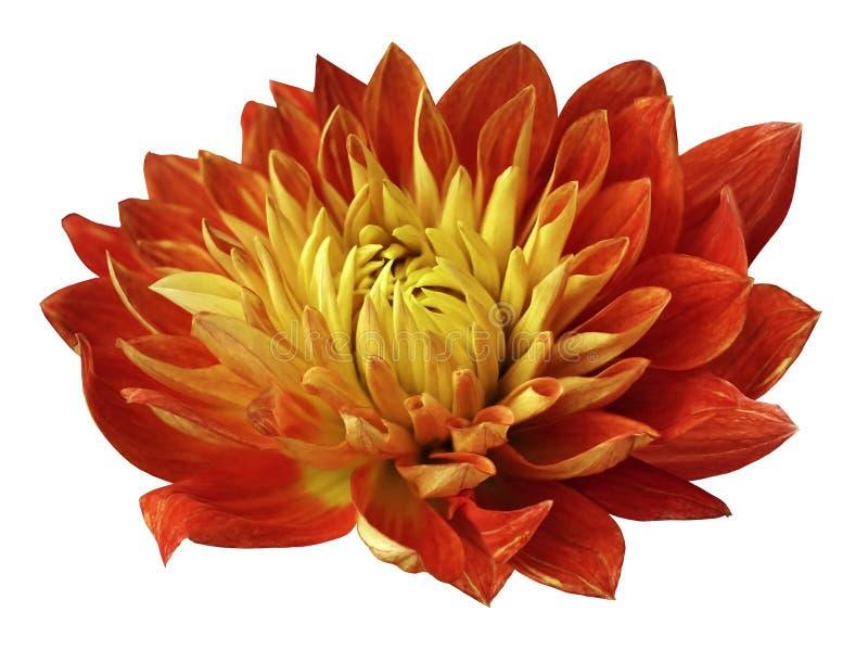 Георгин цветка красно-желтый зацветает Цветок изолированный на белой предпосылке с путем клиппирования отсутствие теней Для конст стоковое фото
