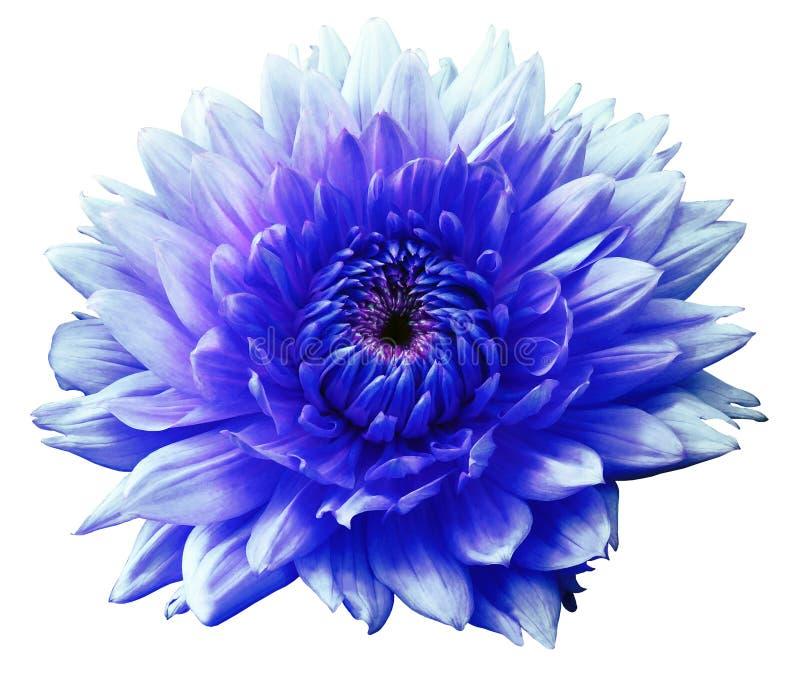 Георгин motley сине-бирюзы цветка белизна изолированная предпосылкой Конец-вверх без теней стоковая фотография