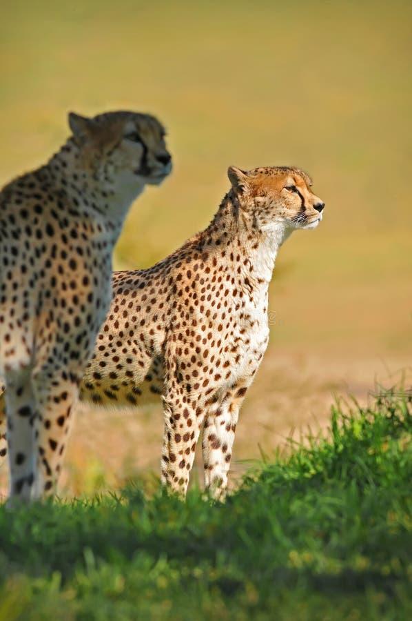 гепарды стоковое изображение