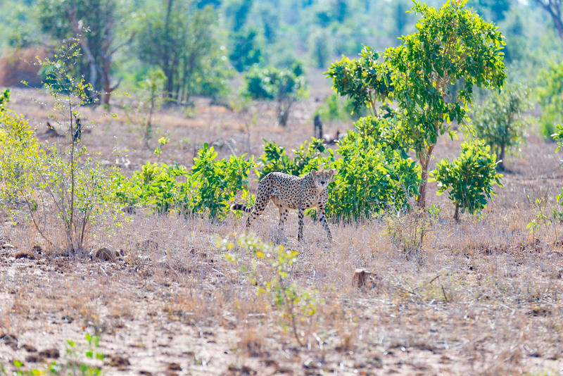 Гепард в положении звероловства готовом для того чтобы побежать для засады Национальный парк Kruger, Южная Африка стоковое изображение
