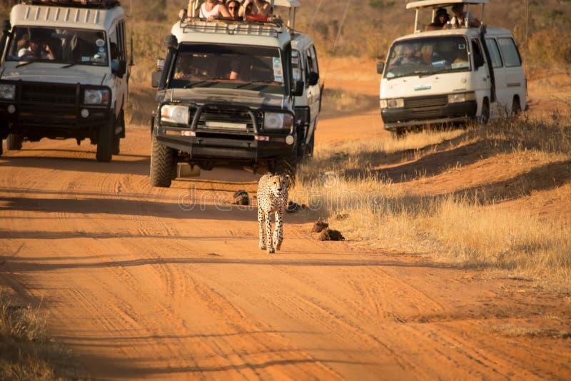Гепард гоньбы туристов на пакостной дороге в с автомобилях дороги на их приводе игры стоковая фотография