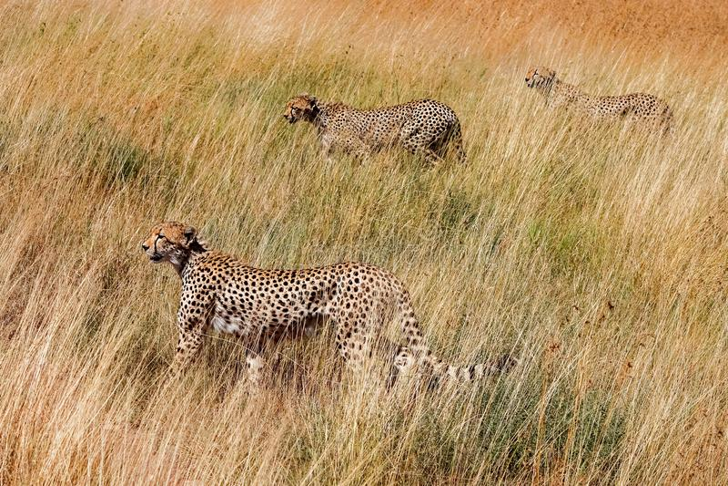 Гепард группы охотится национальный парк Serenegeti вышесказанного Танзания Прятать в высокорослой траве стоковое изображение rf