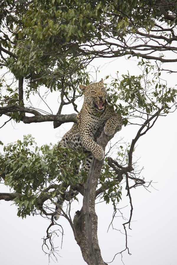 Гепард идя и отдыхая на ветви дерева в Африке стоковая фотография rf