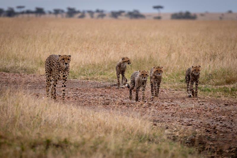 Гепард и 4 новичка идут вниз с следа стоковая фотография