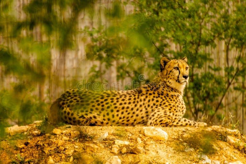 Гепард на троне стоковое фото rf