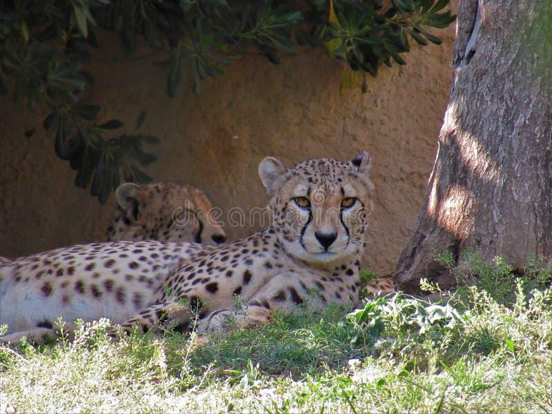 Гепард отдыхая под деревом стоковые фотографии rf