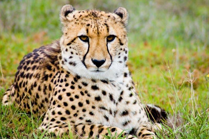 гепард самолюбивый стоковые изображения rf