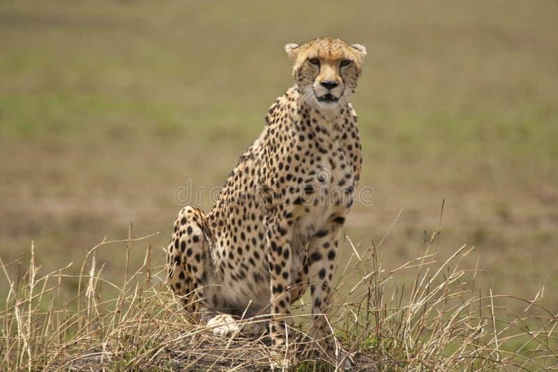 Гепард сидя в ожидании на малом холме стоковые изображения rf