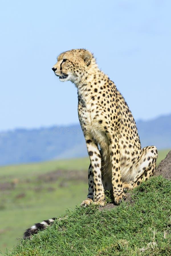 Гепард сидя на холме против голубого неба стоковое изображение rf