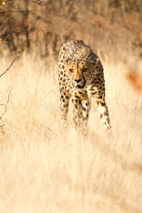Download гепард стоковое фото. изображение насчитывающей класть - 18390098