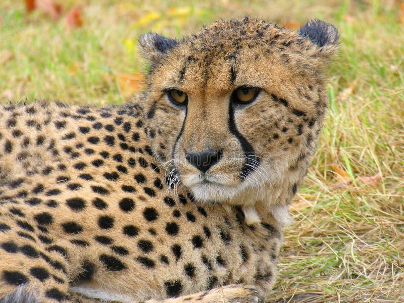гепард стоковое изображение rf